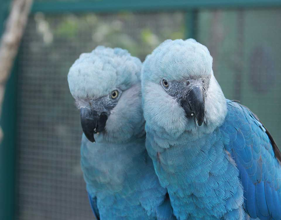 Resultado de imagem para Um bom filho a casa torna: Ararinhas-azuis voltam para a Caatinga após 20 anos.